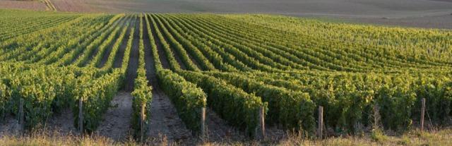 Limoux vignes